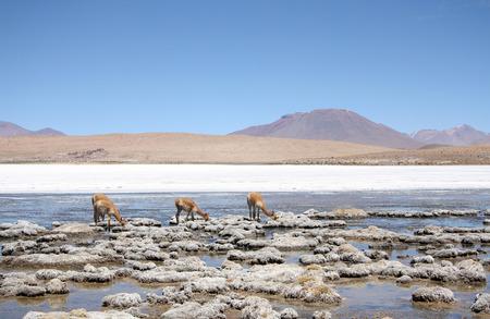 atacama: Vicunas or wild lamas in Atacama Desert, Bolivia, South America
