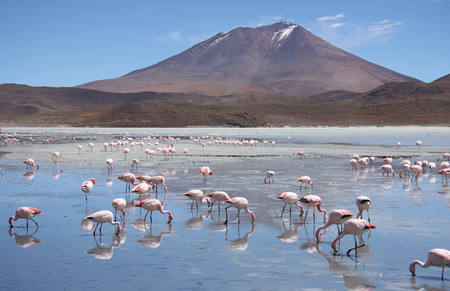 atacama: Flamingos in a beautiful Laguna Hedionda in Bolivia, Atacama desert, South America
