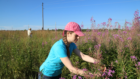 Young woman collects herbal Koporye tea or Blooming Sally herbs on the summer field photo