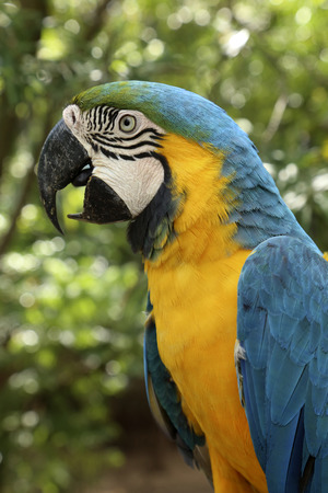 Portrait of Blue-and-Yellow Macaw Parrot, Ara Ararauna Blue-and-yellow macaw in Bolivia Stock Photo