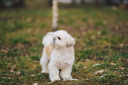 Perro shi tzu en la hierba verde. Perro blanco en busca de algo sobre la hierba verde en el parque.
