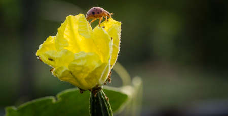 ingradient: A bug on yellow luffa flower