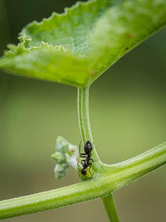 hormiga hoja: hoja de hormiga y luffa