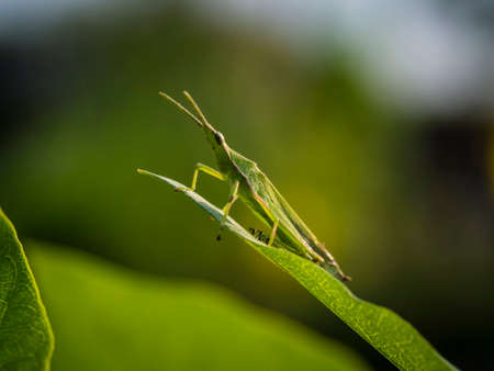 insect on leaf: insect grasshopper on tip of leaf Stock Photo
