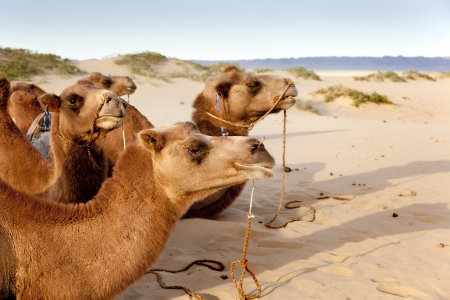 a caravan of camels resting in the sand of the Gobi Desert Stock Photo