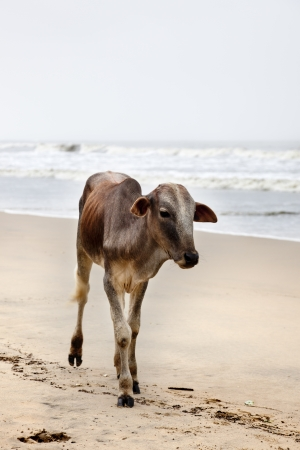A cow walks freely on the beaches of Goa in the monsoon