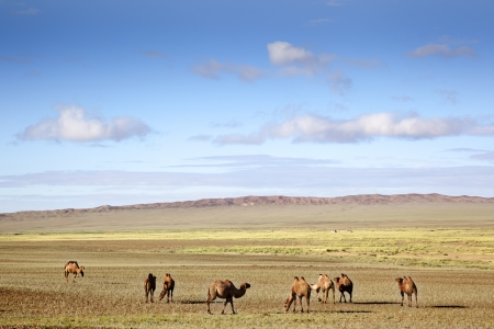 a caravan of camels restingand eating in the sand of the Gobi Desert Stock Photo - 16482360
