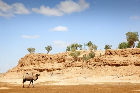 independent mongolia: a camel walking through the desert