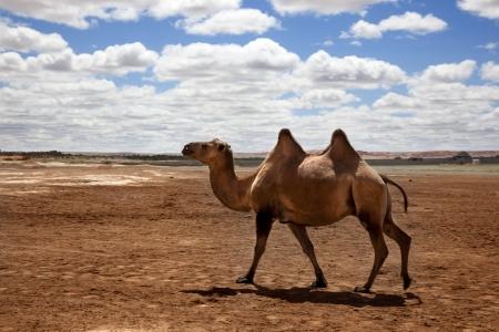 a camel walking through the desert Stock Photo - 16482367