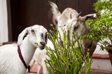 a sheep and a goat eat a pot plant in a city Stock Photo