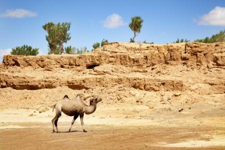 a camel walking through the desert Stock Photo - 17048227