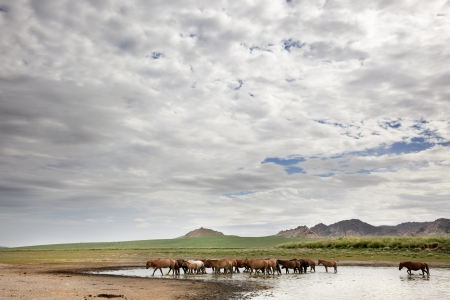 independent mongolia: A herd of wild horses drink water from a pond in the Gobi Desert