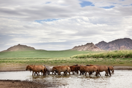 independent mongolia: a herd of horses leaves the pond from where drinking water have