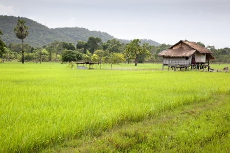 The way through the rice field. Don Khong. Si Phan Don. Laos Stock Photo