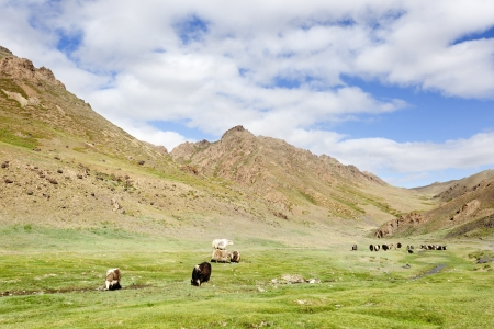 independent mongolia: Yaks grazing on grass at the entrance to Yoliin am