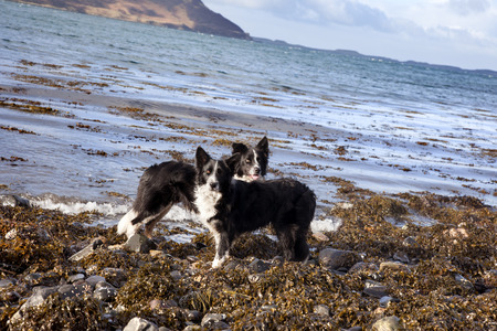 collies: Collies playing on the beach