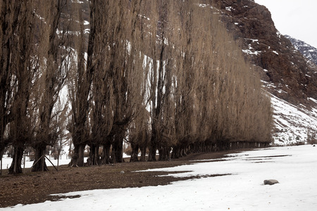 Row of poplar trees in Cajon del Maipo. Chile photo
