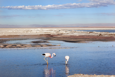 Flamingos on Salar de Atacama. Chile