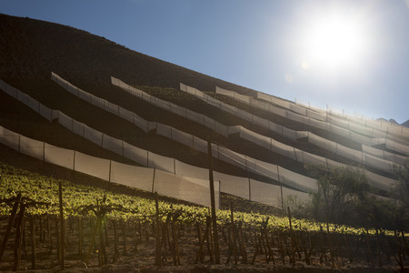 biological vineyard: Elqui Valley Vineyards