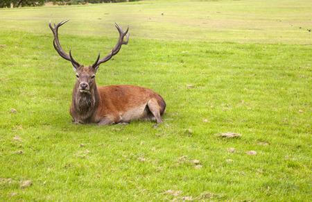 venado: Ciervos acostado en la hierba en Lochranza