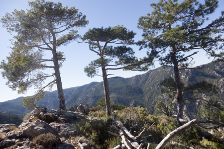 Three pines on a peak in the Ports de Beseit. Spain