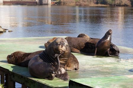 animal body part: Sea lion on pier in Valdivia. Chile Stock Photo