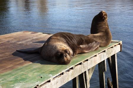 Sea lion in Valdivia