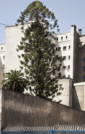 Araucaria tree on the middle of the city