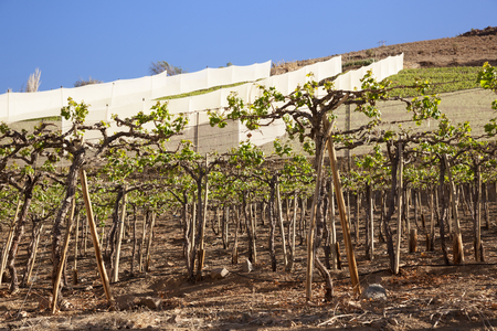 Vineyards in Elqui Valley. Chile