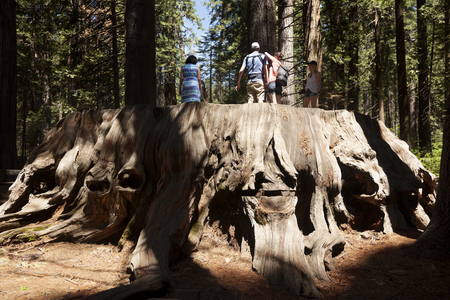 Arnold, USA-June 15, 2017: People above of the giant Sequoia trunk in Big trees park natural