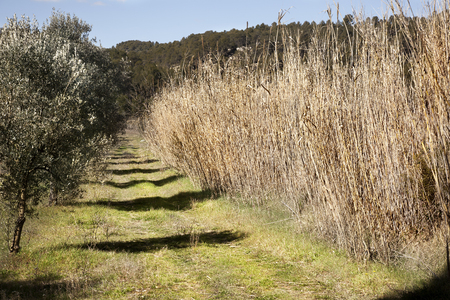 Olive Tree field in Teruel province. Aragon