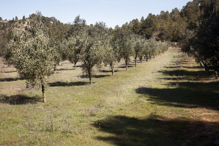 Olive trees in Teruel province. Spain