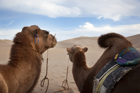 Camel in the Gobi Desert  Stock Photo