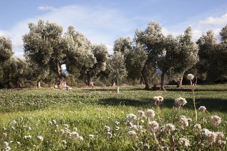 Olive tree. Teruel province