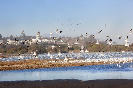 Seagulls in Concon beach. Chile Stock Photo