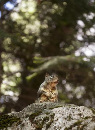 Squirrel in Yosemite Valley. California Archivio Fotografico - 121839271