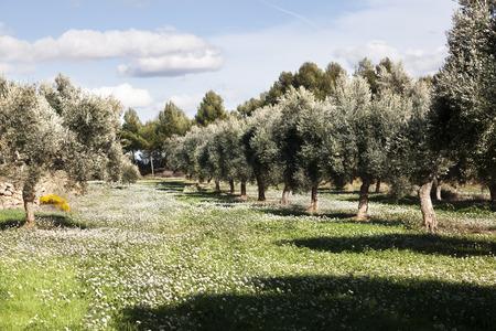 Olive Tree field. Teruel province. Spain Stock fotó