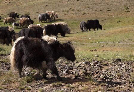 Yaks grazing on grass at the entrance to Yoliin am Archivio Fotografico - 138828201