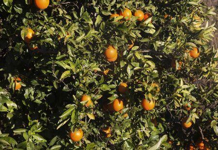 Field fo Orange tree Archivio Fotografico