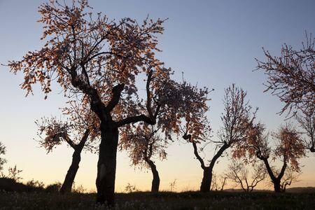 Almonds blossom. Winter in Teruel Province
