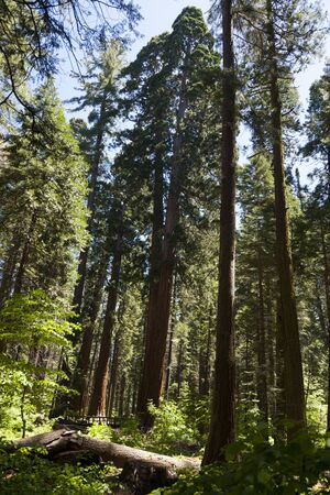 Forest of Sequoias tree in Big Tree national Park Stock Photo