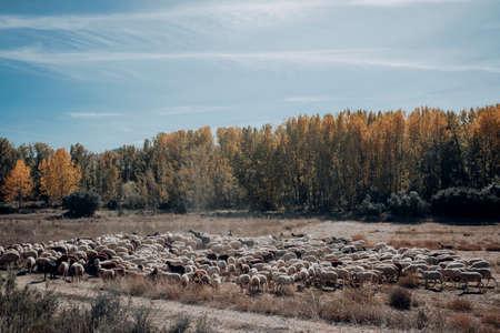 Sheep to graze in the meadow in Maestrazgo. Teruel province. Spain