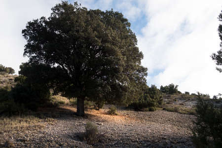 Giant holm oak in Los Ports Mountains of Matarranya region in Teruel province, Spain Archivio Fotografico
