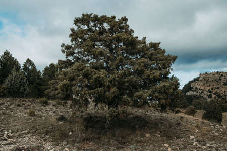 Giant juniper. Mountain routes in Los Ports mountains. Teruel province