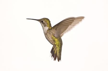 hummingbird: Female Ruby Red Throat Hummingbird in Flight against a White Background.