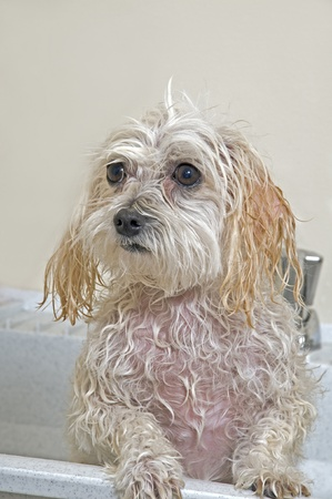 Maltese - Toy Poodle Mix (Maltipoo). Puppy Taking A Bath  photo