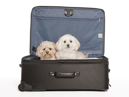 Maltipoo and Morkie, Mixed Breed Puppies in Travel Suitcase Stock Photo