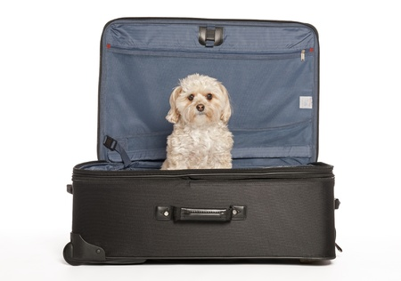 Maltese - Yorkie (Morkie)  Puppy in Travel Suitcase Stock Photo