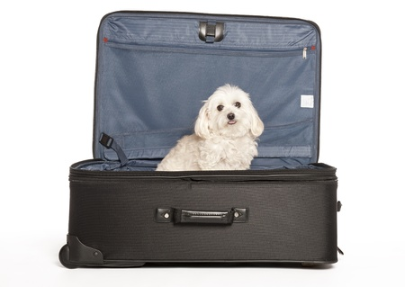 maltese dog: Maltese - Toy Poodle (Maltipoo)  Puppy in Travel Suitcase