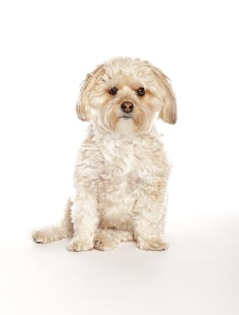 Maltese Yorkie (Morkie) Mixed Breed Puppy